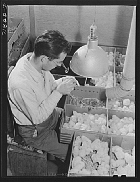 Petaluma, Sonoma County, California. Determining the sex of baby chicks at a hatchery