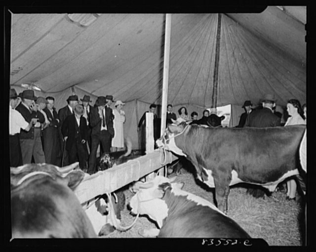 Presque Isle, Maine. Annual agricultural show at the state experimental farm. Prizewinning baby beef