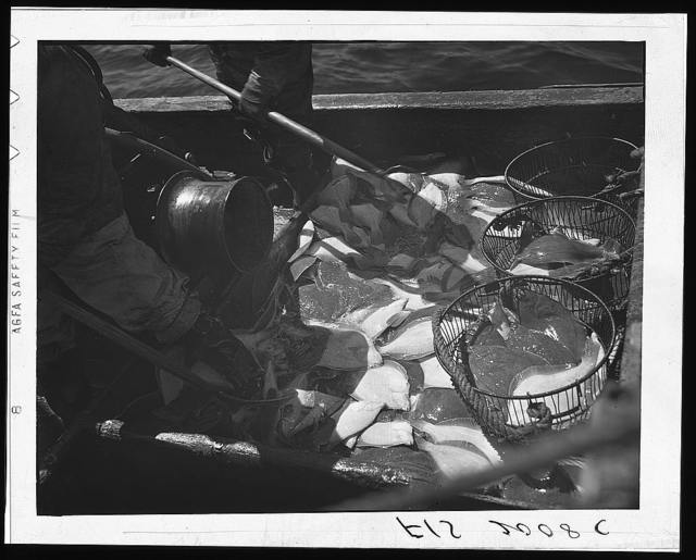 Provincetown, Massachusetts. Aboard the Frances and Marion, a Portuguese drag trawler, fishing off Cape Cod. Pitching the catch into metal baskets, to be lowered into the hold for icing