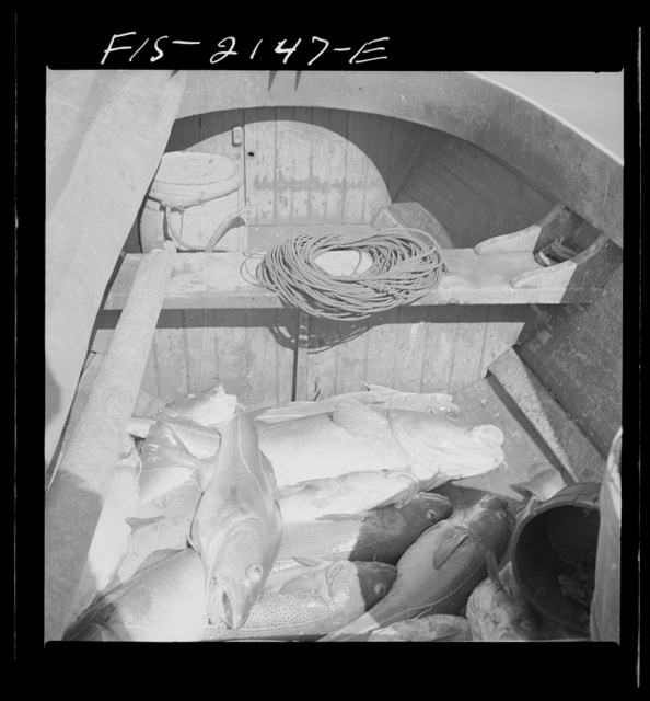 Provincetown, Massachusetts. Codfish in the bilge of a Portuguese fishing dory