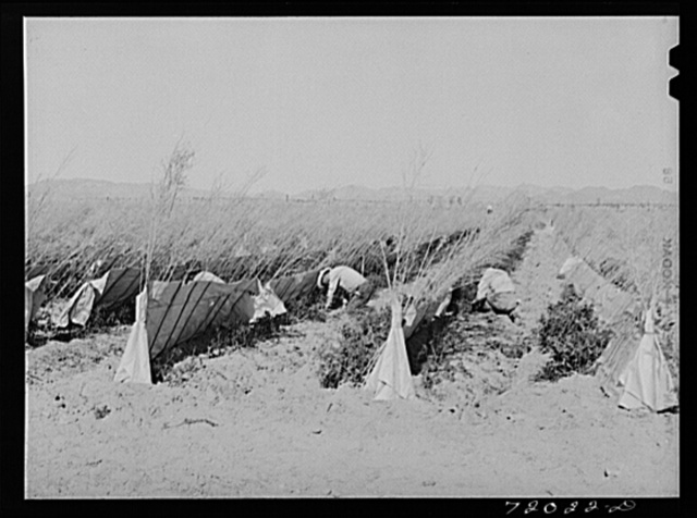 Pruning tomato plants makes the plants yield longer and produce better and larger tomatoes. Imperial County, California