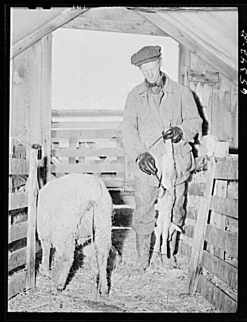 Ravalli County, Montana. Putting iodine on naval of newborn lamb