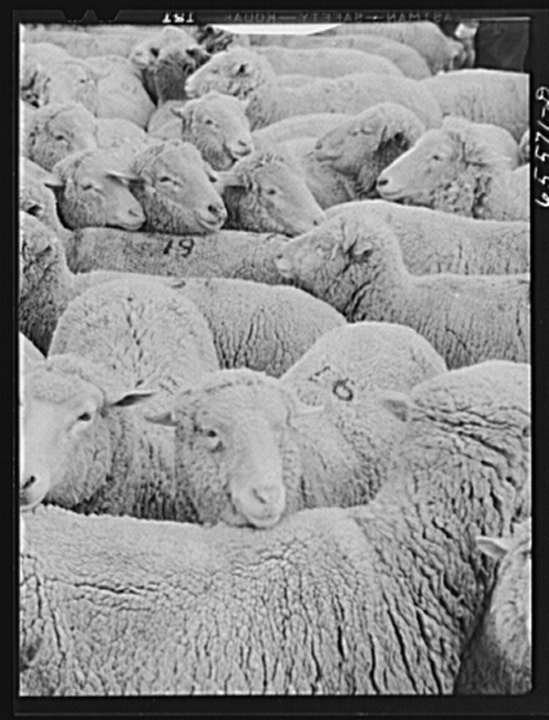 Ravalli County, Montana. Sheep on Clarence Goff's ranch