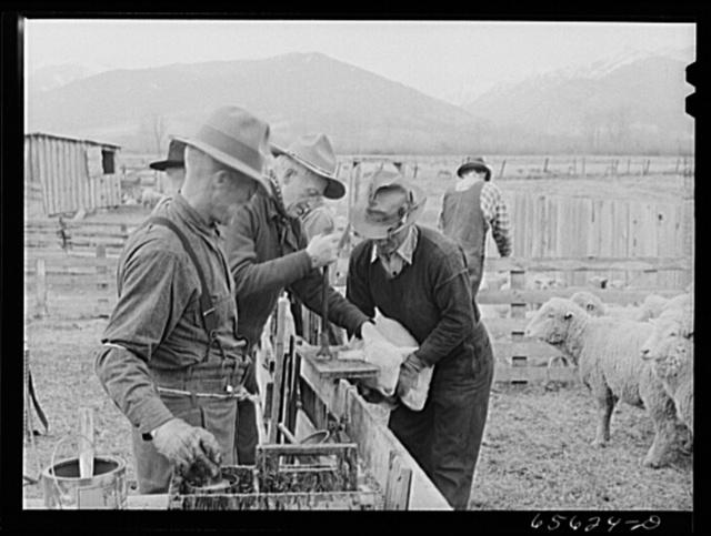 Ravalli County, Montana. Slitting ears of a young lamb