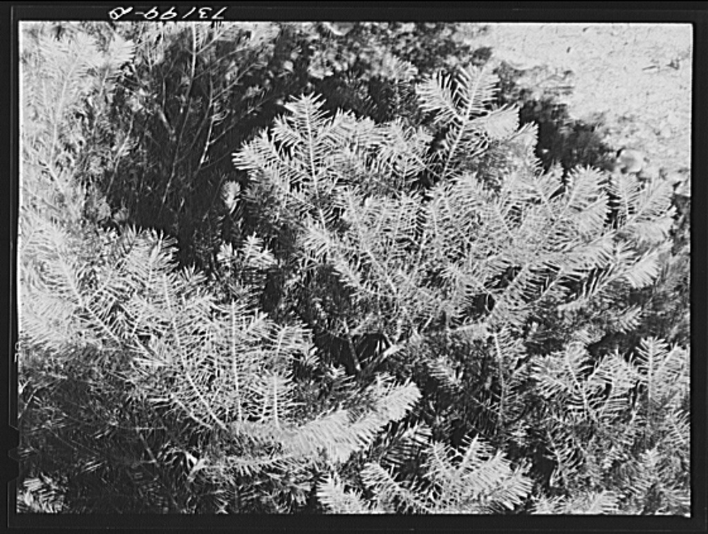 Rogue River National Forest, Douglas County, Oregon. Detail of fir trees