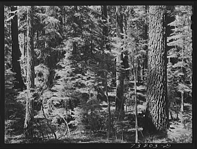 Rogue River National Forest, Jackson County, Oregon. Detail of forest growth
