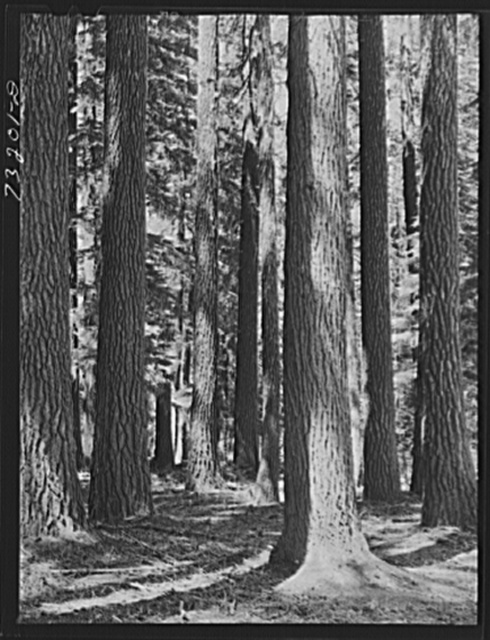 Rogue River National Forest, Jackson County, Oregon. Stand of fir
