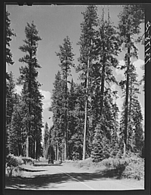 Rogue River National Forest, Klamath County, Oregon. Tall timber
