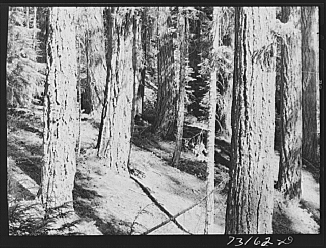 Rogue River National Forest, Klamath County, Oregon. Tall trees along Highway 62