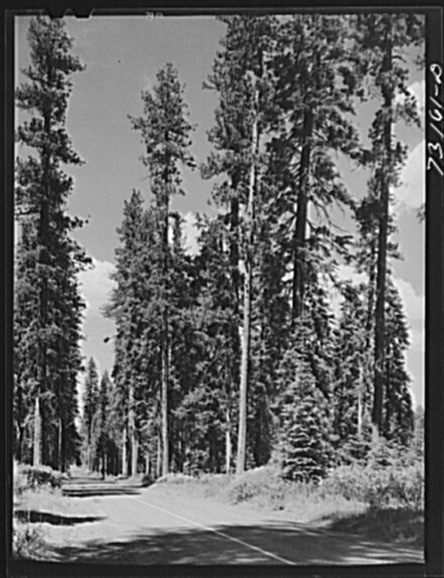 Rogue River National Forest, Klamath County, Oregon. Tall trees along the State Highway 62