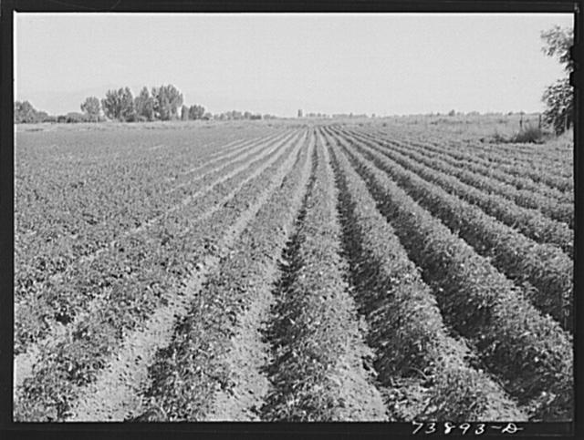 Rupert, Idaho (vicinity). Potato field