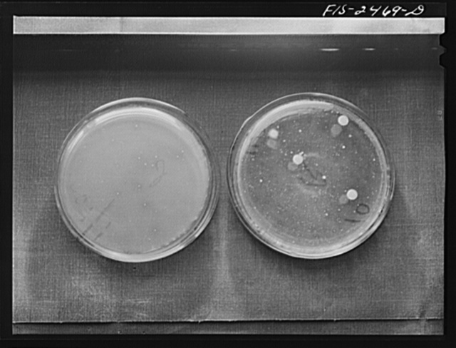 Samples of bacteria colonies in milk. Sample on right was made before pasteurization and that on the left after pasteurization. Samples were used in bacteriology class of the Dairy Industry Department to show that not all bacterial colonies are destroyed in pasteurization. Iowa State Collge, Ames, Iowa