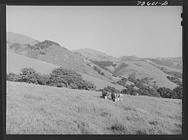 San Benito County, California. Cattle grazing in the hills