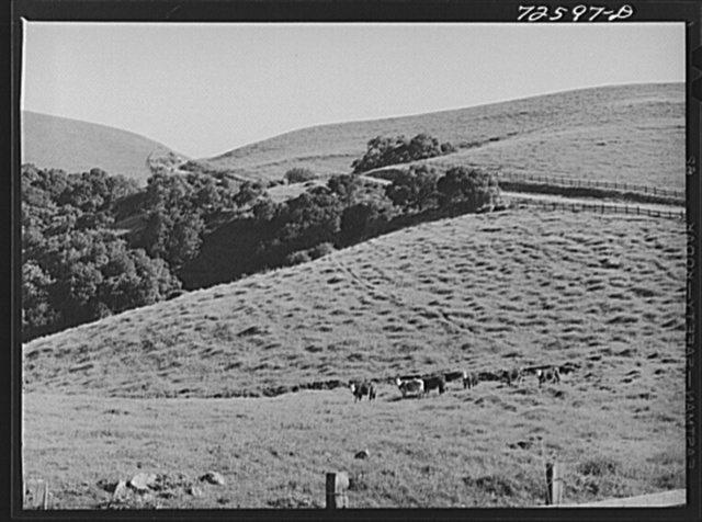 San Benito County, California. Cattle grazing on the grass-covered hills