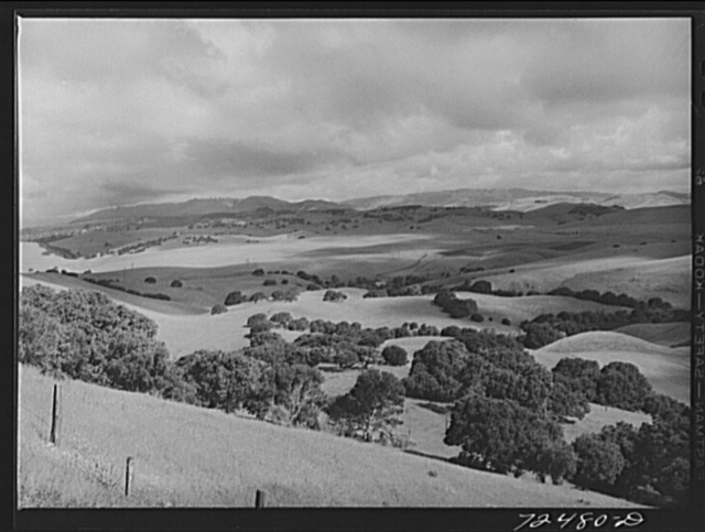 San Benito County, California. Low foothills which are grazing ground for cattle and sheep