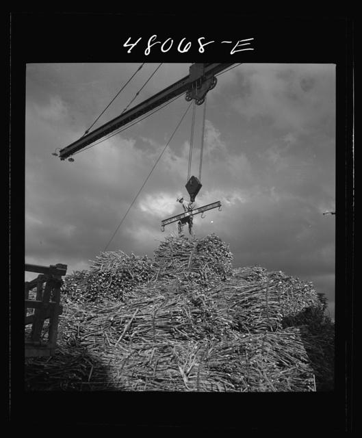 """San Sebastian, Puerto Rico (vicinity). Unloading sugar cane at a """"central"""""""