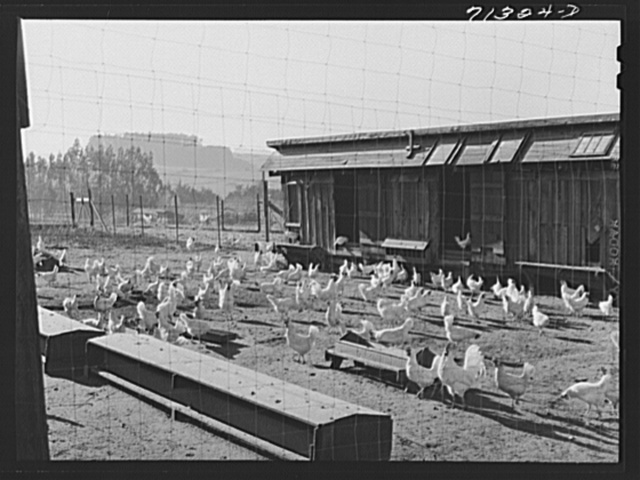 Sonoma County, California. White leghorn chickens in a yard. Eggs are sold and the feed is bought through cooperatives in this county. All chicken ranchers raise the one variety of chicken only