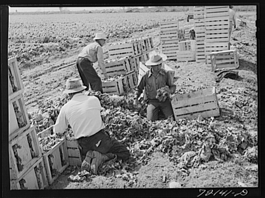 Sorting and packing lettuce in the field. Yuma County, Arizona