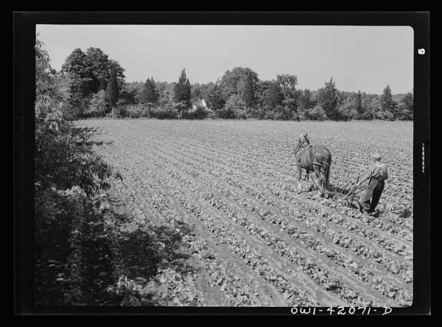 Southington, Connecticut. Gus Worke ploughing his field of lettuce