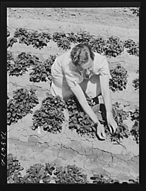 Strawberry bed in garden of agricultural worker living at the FSA (Farm Security Administration) farm workers community. Gridley, California