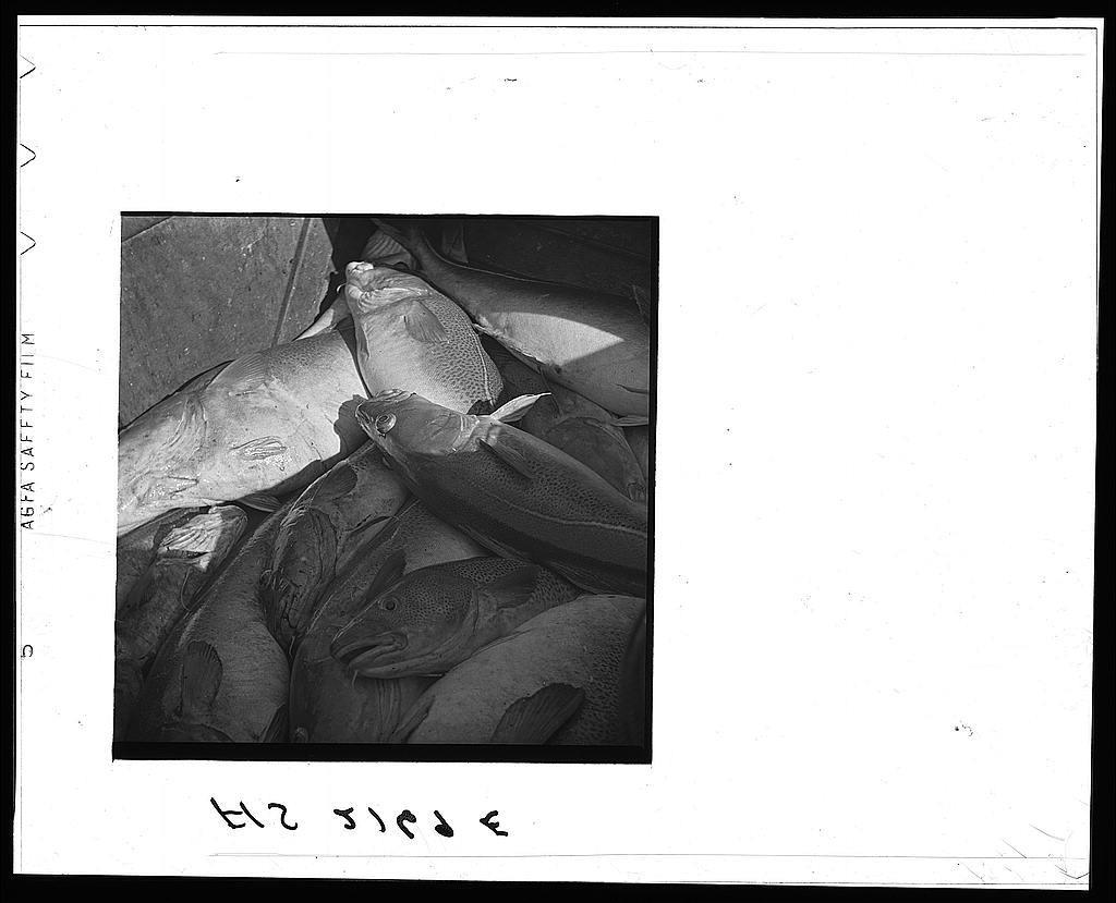 The catch aboard a Portuguese dory off Cape Cod, Massachusetts