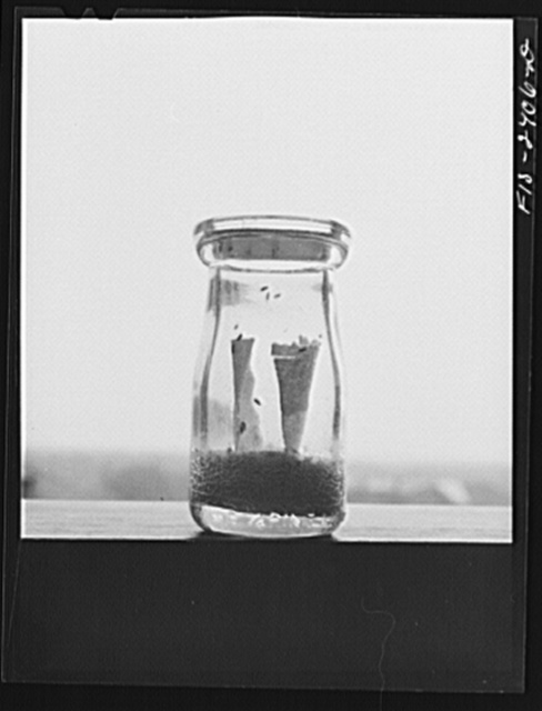 The Drosophila (flies) in this culture bottle were being used in the inheritance studies of a class in advanced genetics at Iowa State College. Ames, Iowa