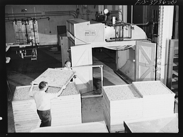 Trays of dehydrated cabbage freshly removed from cabinet dryer. Regional agricultural research laboratory, Albany, California