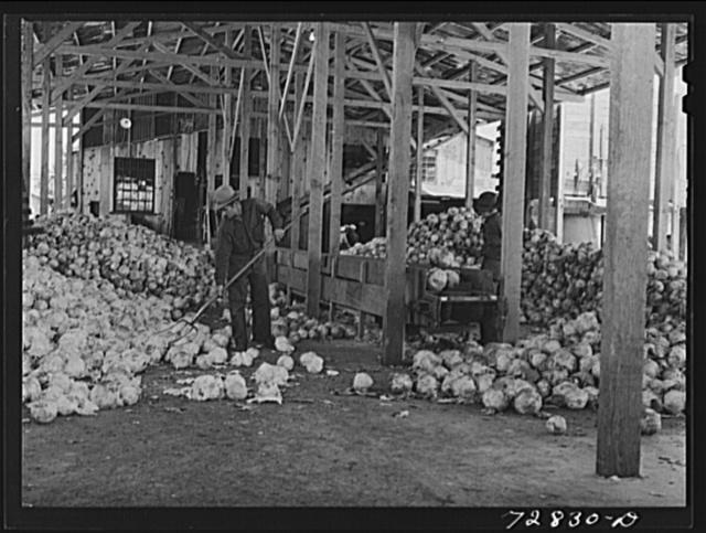 Turlock, California. Cabbage at dehydrating plant