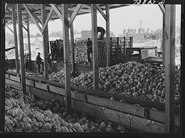 Turlock, California. Cabbage being unloaded at dehydrating plant