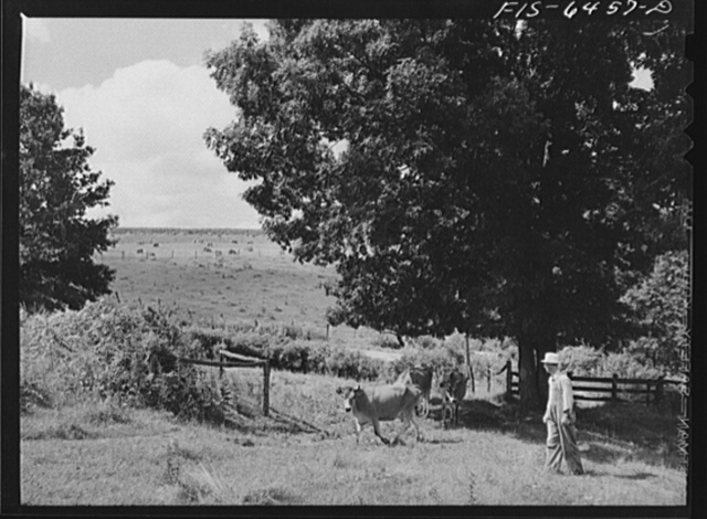 Vernon County, Wisconsin. Eddie Saugstad pasturing cows