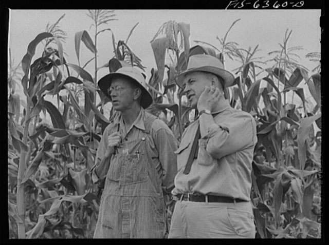 Vernon County, Wisconsin. Edward Saugstad and the county agent examining corn crop