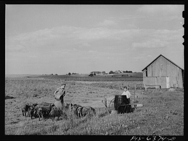 Vernon County, Wisconsin. Feeding the hogs on the Saugstad farm