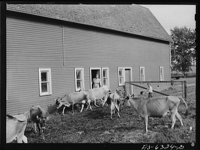 Vernon County, Wisconsin. Mrs. Saugsted and Teddy driving the cows into the barn for milking