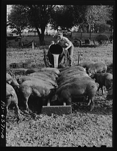 Vernon County, Wisconsin. Robert and Teddy Saugstad feeding the whey returned by the creamery to the hogs