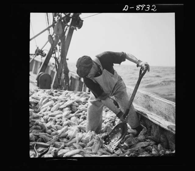 """Victory food from American waters. Immediately after being caught rosefish are shoveled into the hold for packing the ice. Once called """"goldfish"""" because of their brilliant color, the fish are finding a ready market because of their manifold uses--as food for humans, as fish meal and fish oil"""