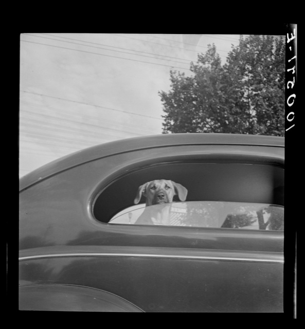 Washington, D.C. Passengers, drivers, and dogs were tired by the time they reached the gas pumps on the day before stricter gasoline rationing went into effect