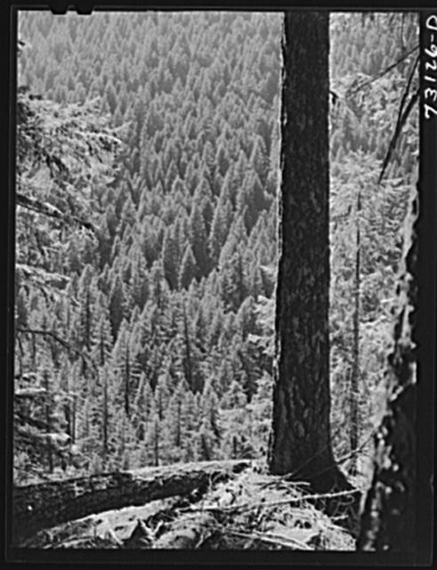 Willamette National Forest, Linn County, Oregon. Wooded mountainside