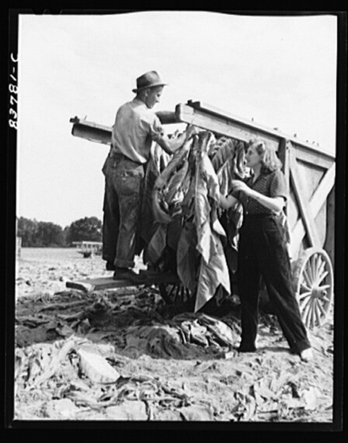 Windsor Locks, Connecticut (vicinity). Daughter of Polish farmer helping in the tobacco harvest