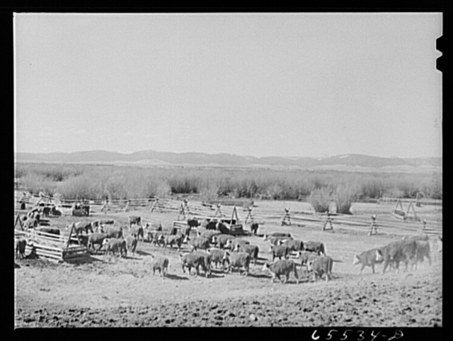Wisdom, Montana. Cattle in stockyards. They will be driven, starting at about midnight, to the town of Divide, forty miles away, the nearest railroad