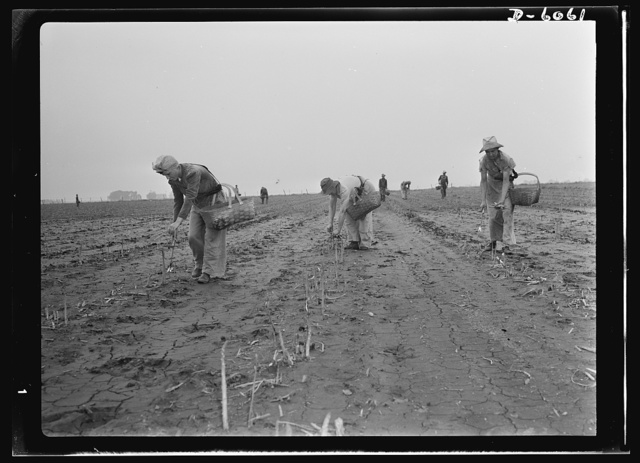 Women in war. Agricultural workers. With the nation's manpower swelling the ranks of the armed forces, women must step into many new occupations in both urban and rural life. These women harvest hands in Rochelle, Illinois, are helping the national welfare by picking the summer asparagus crop