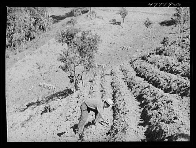 Yauco, Puerto Rico (vicinity). FSA (Farm Security Administration) borrower and member of Yauco tomato cooperative planting tomatoes on his farm in the hills