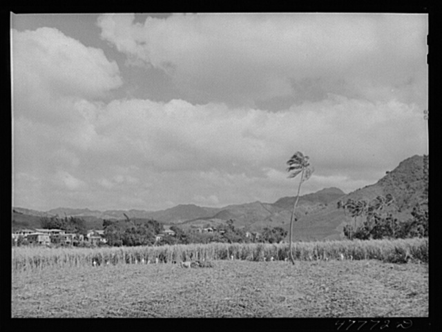 Yauco, Puerto Rico (vicinity). Harvesting sugar cane in a field