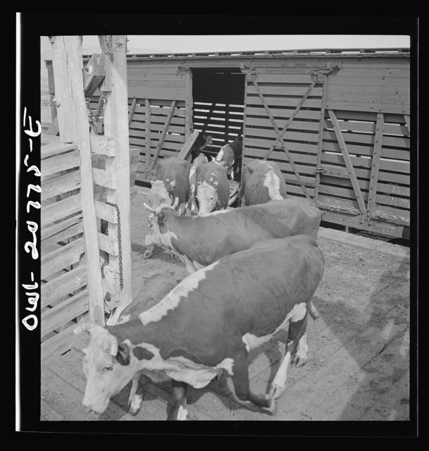 Albuquerque, New Mexico. Unloading cattle at the Atchison, Topeka and Santa Fe Railroad stockyard