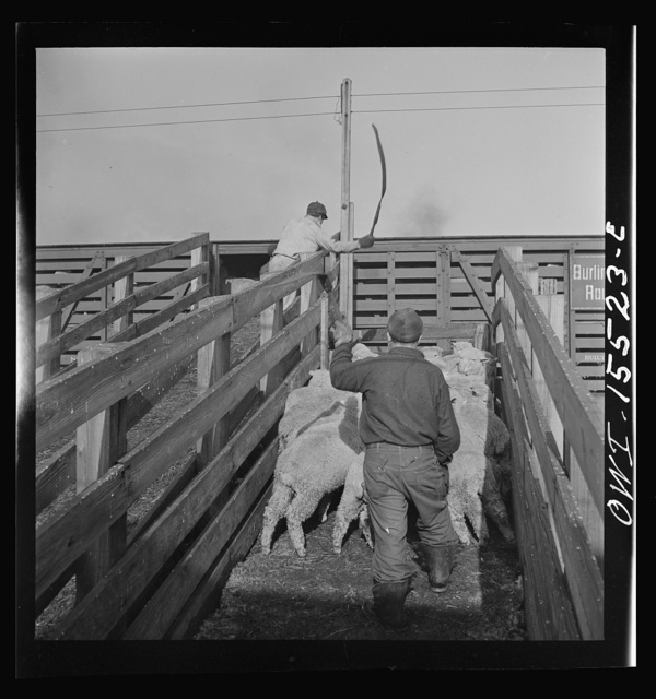 Calumet City, Illinois. Loading sheep at the Calumet Park stockyards