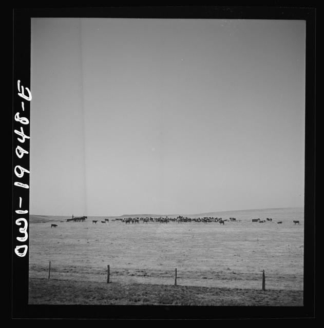 Codman, Texas. Feeding cattle along the Atchison, Topeka, and Santa Fe Railroad