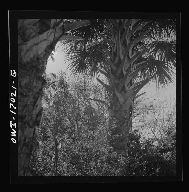 Daytona Beach, Florida. Palm trees and underbrush