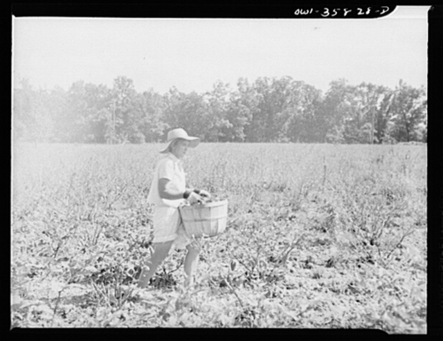 Detroit (vicinity), Michigan.  Girls harvesting medicinal(?) plants