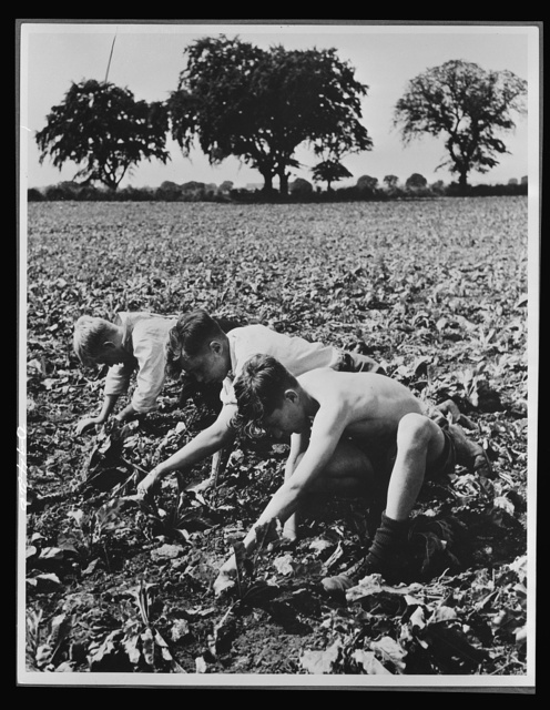 Food in Britain. These British lads from Benrose School, Derby, work thirty-nine hours a week to help in growing sugar beets. In 1942 there were more than 500 schoolboy harvest camps in Britain