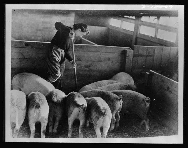 Food in England. A woman in Britain's Land Army clears out a pig-house. Along with many other British women she works on a farm to supply her country with essential food