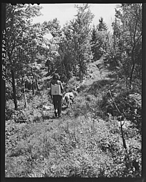 Gorham (vicinity), New Hampshire. Barbara Mortensen, a fire and airplane lookout on Pine Mountain, bound down the mountain a half mile to the spring where she gets her drinking water, and if there is no rain, her wash water too. On her back is strapped a metal water pack, which holds three gallons and weighs thirty pounds when full